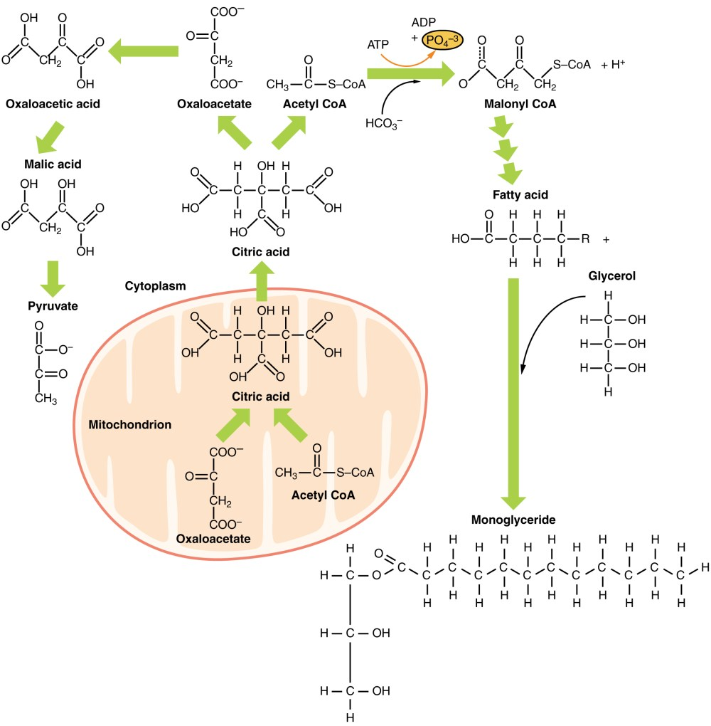 medium resolution of metabolic functions of the liver carbohydrates lipids teachmephysiology