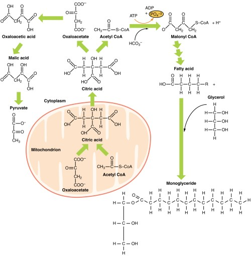 small resolution of metabolic functions of the liver carbohydrates lipids teachmephysiology