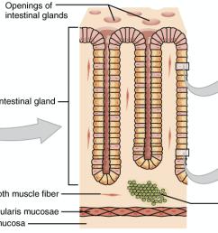 intestine cell diagram [ 2164 x 998 Pixel ]