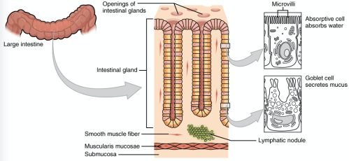 small resolution of intestine cell diagram