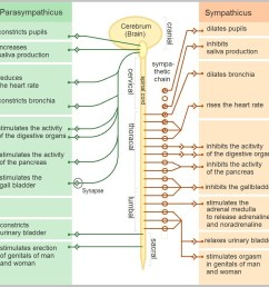 fig 2 functions of the sympathetic and parasympathetic nervous systems [ 1013 x 1015 Pixel ]