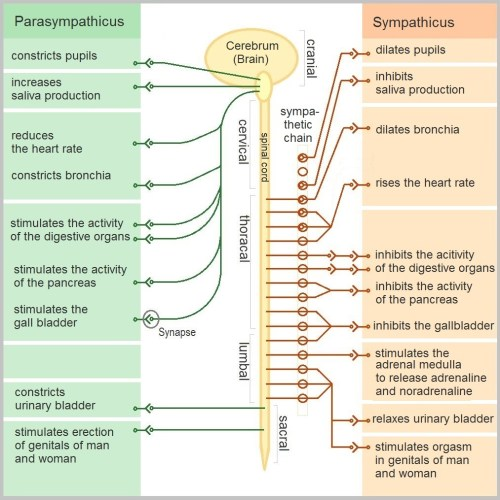small resolution of fig 2 functions of the sympathetic and parasympathetic nervous systems