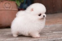 10 Things You Should Know About Teacup Pomeranian Dog Breed