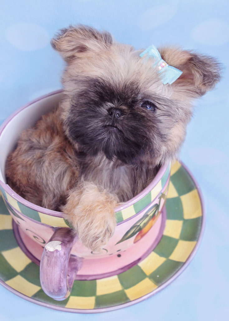 Teacup Puppies By Breed Yorkies Chihuahuas Pomeranians
