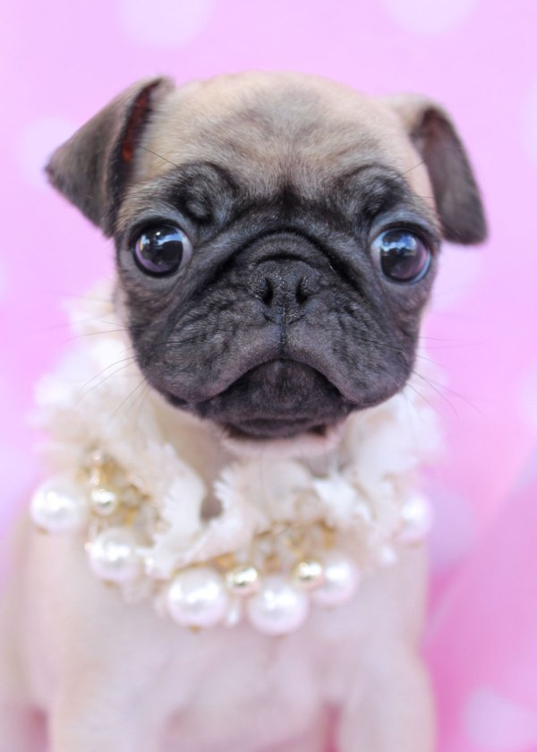 20 Teacup Pugs Pictures And Ideas On Stem Education Caucus