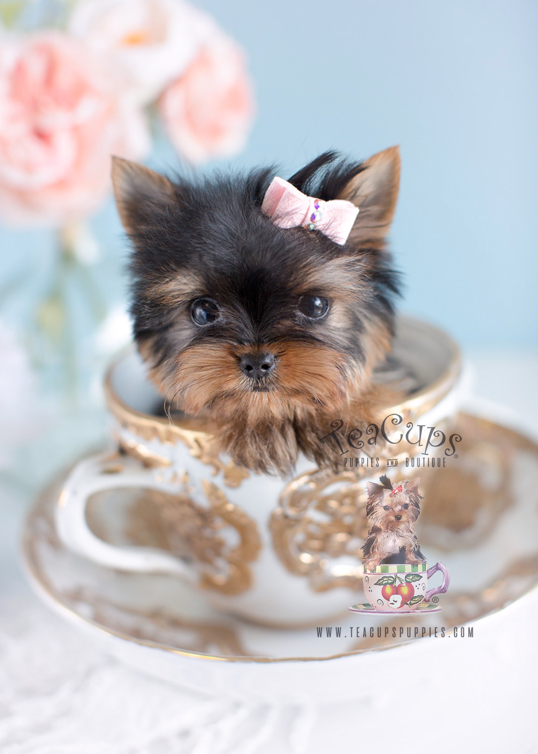 Tiny Teacup Yorkie Puppies For Sale Near Me Cheap : teacup, yorkie, puppies, cheap, Teacup, Yorkie, Cheap, Online