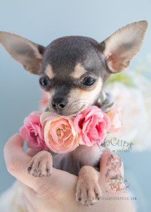 Teacup Chiuaha - Year of Clean Water