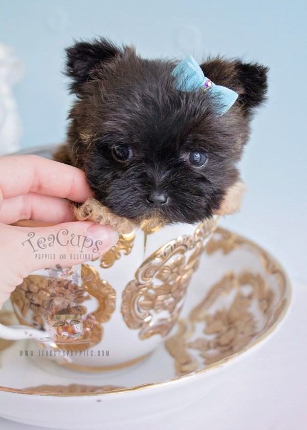 Small Teacup Puppies For Sale - Year of Clean Water