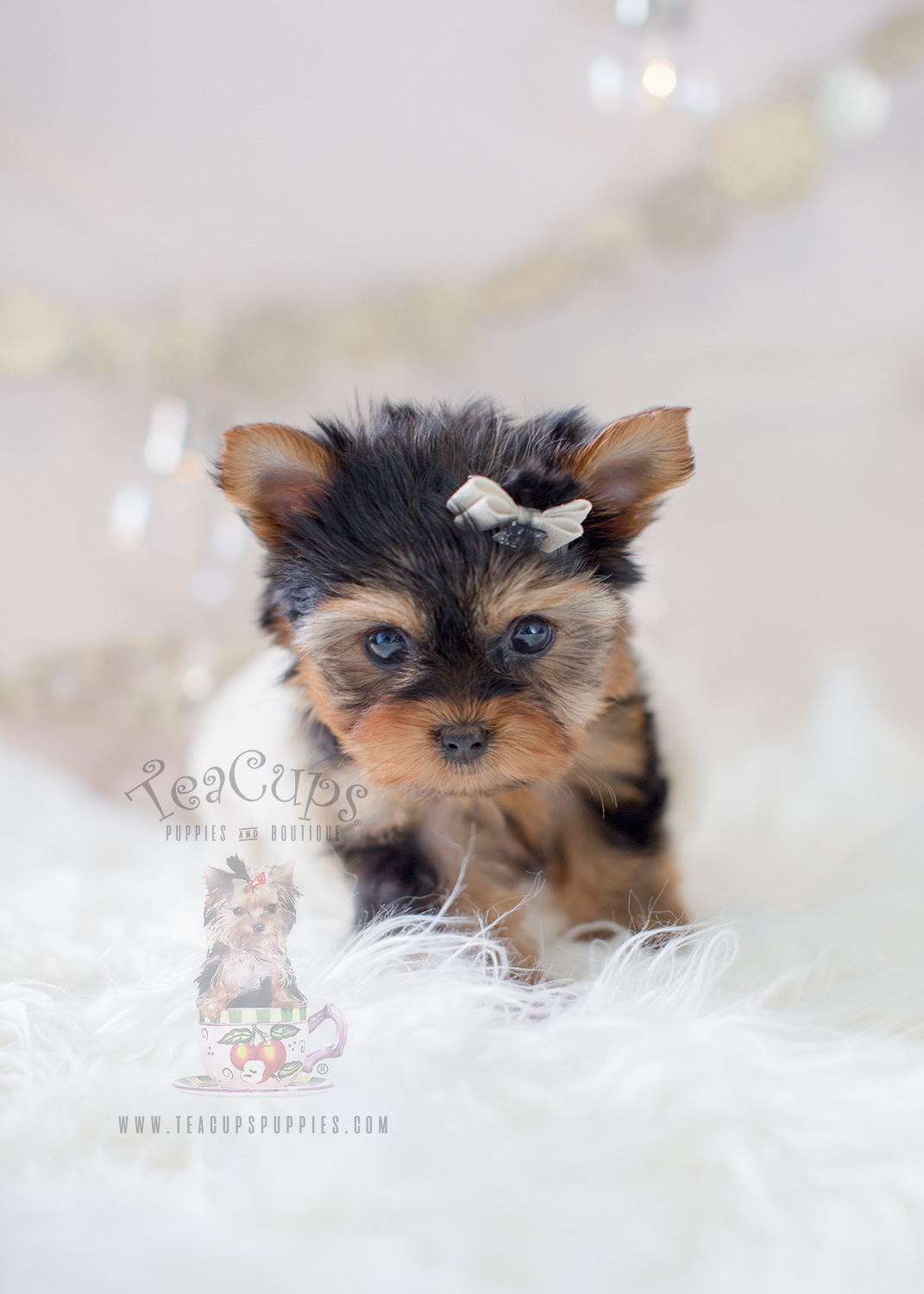 Tiny Teacup Yorkie Puppies For Sale Near Me Cheap : teacup, yorkie, puppies, cheap, Yorkshire, Terriers, Here!, Teacup, Puppies, Boutique