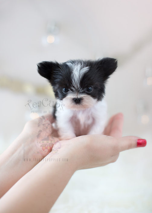 Teacup Chihuahua Puppies for sale in North Carolina