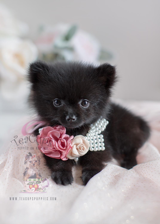 Tiny Teacup Pomeranian Puppies | Teacup Puppies & Boutique