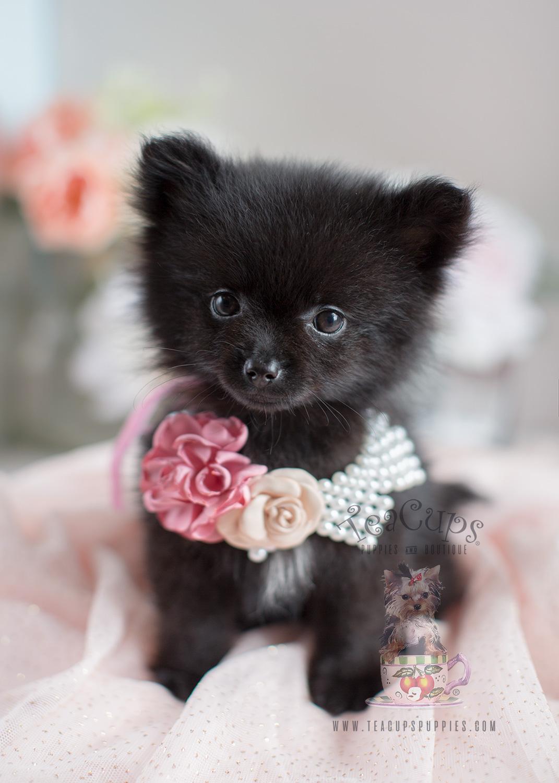 Black Pomeranian Puppy For Sale Near Me : black, pomeranian, puppy, Pomeranian, Puppies, Pomeranians, South, Florida, Teacup, Boutique