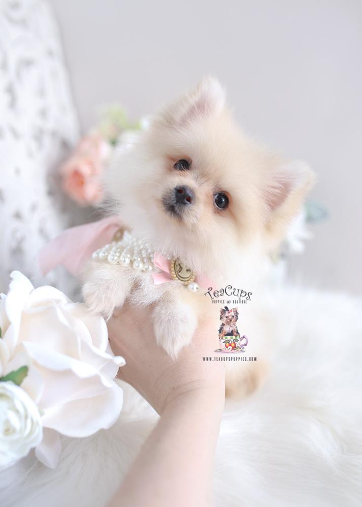 Pomeranian For Sale Florida : pomeranian, florida, Pomeranian, Puppies, Teacup, Boutique