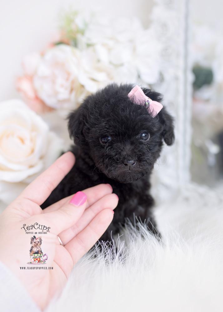 Black Teacup Poodle : black, teacup, poodle, Black, Poodle, Puppies, Teacup, Boutique