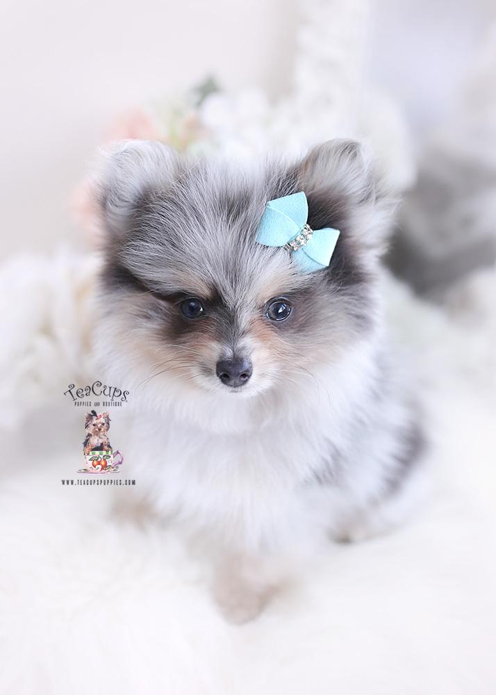 Pomeranian For Sale Florida : pomeranian, florida, South, Florida, Pomeranian, Puppies, Teacup, Boutique