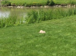 Muskrat taking in the tourists