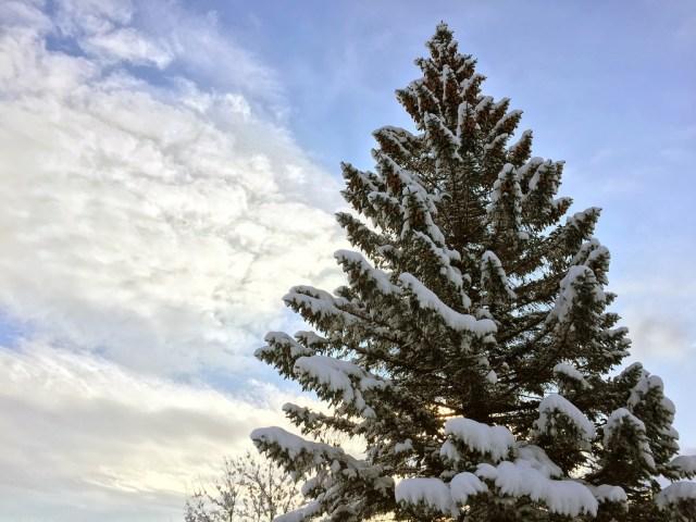 Last Virgin Pine
