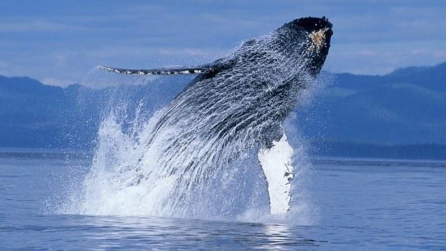 Humpbacks 2