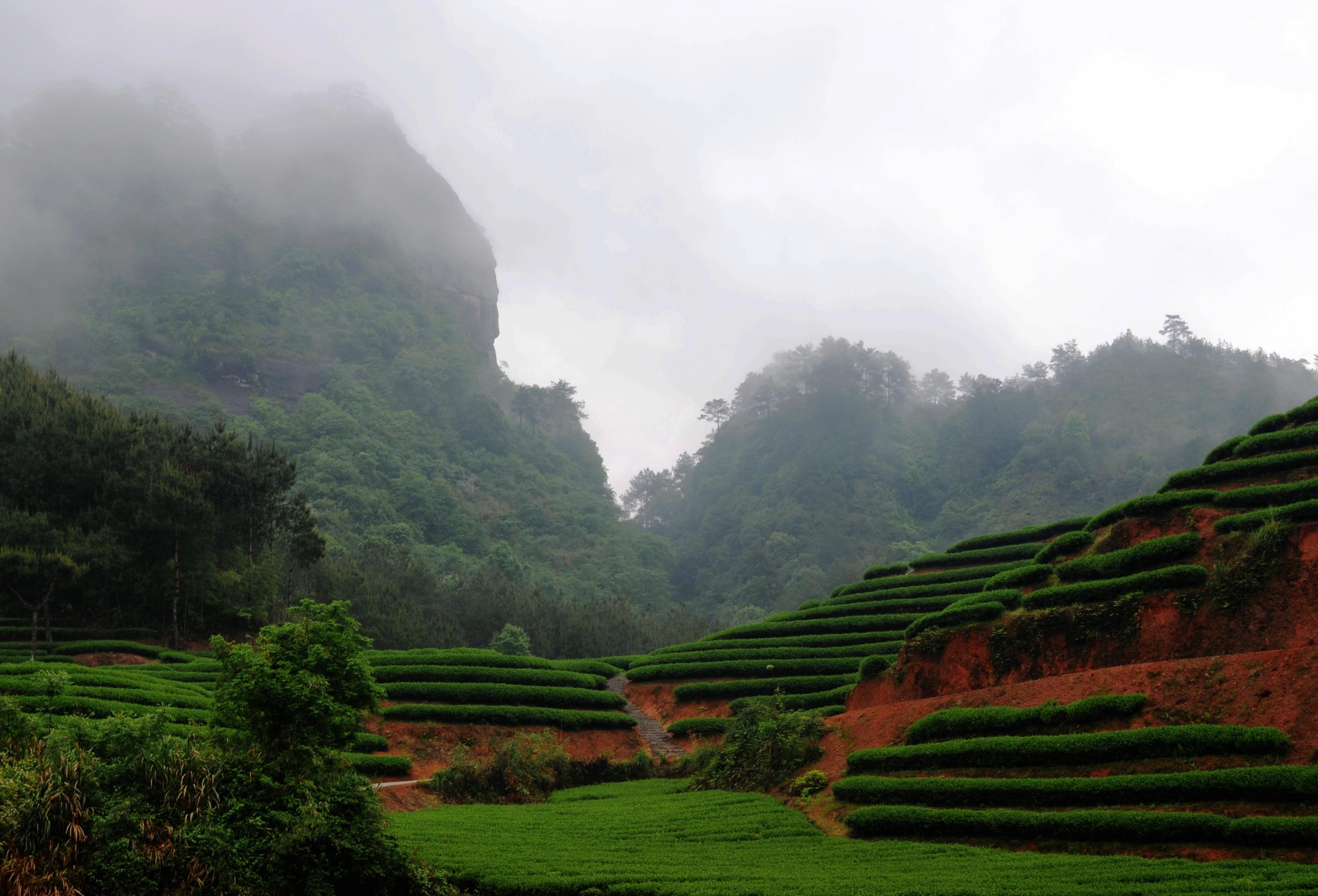 Wuyi tea garden