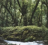 Yunnan tea forest