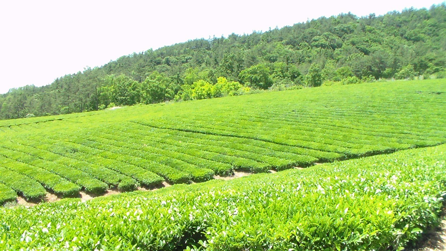 Tea fields in Jangsng-gun. Photo copyright Yeonok Kim