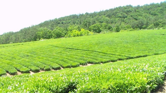 Tea fields in Jangsng-gun. Photo copyright Yeonok Kim