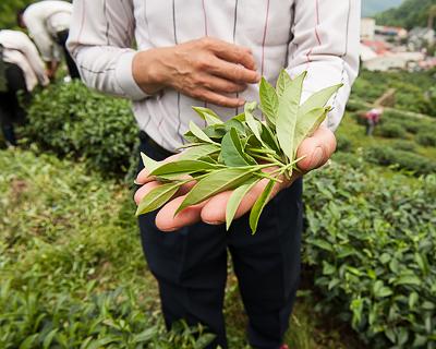 Qing Xin cultivar