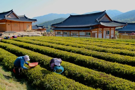 Tea leaves plucked in the morning, Boseong, South Korea