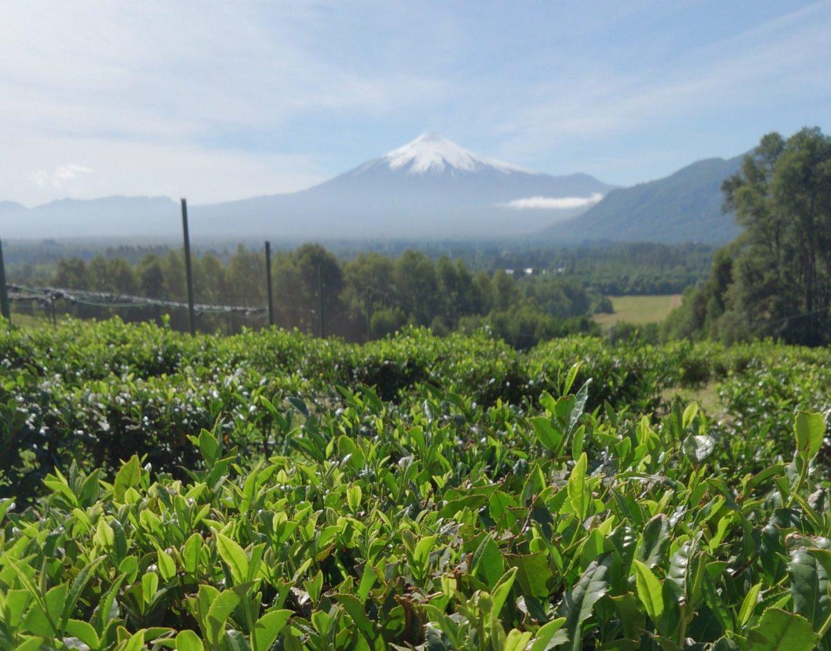 La Teteria Tea Estate