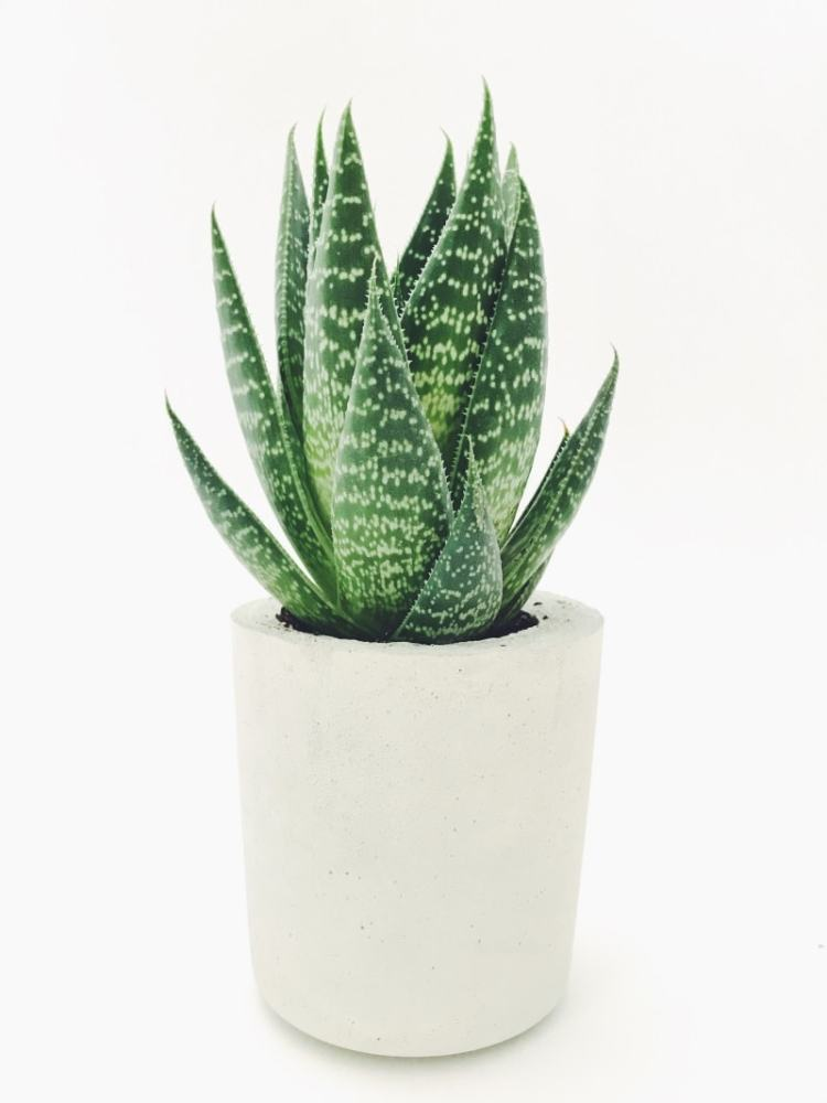 aloe vera makes a great indoor plant for low light settings