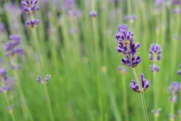 essential oils guide with the best essential oils and how to use essential oils, lavender essential oil