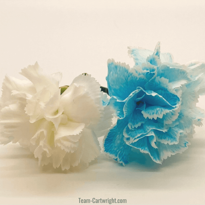 white carnation and white carnation dyed blue through colored water experiment