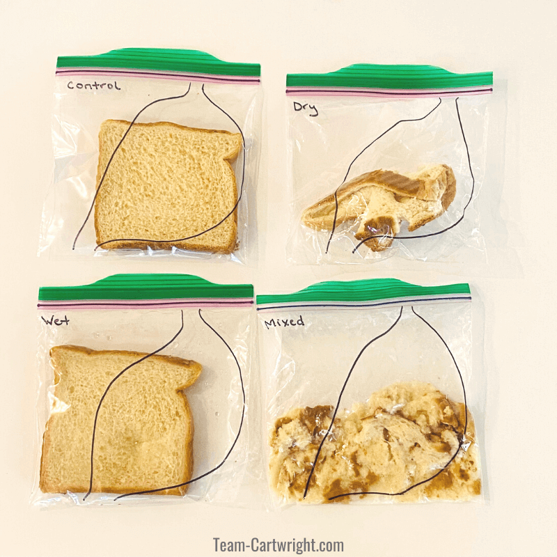 "4 baggies with bread inside from digestion experiment for kids. Clockwise from top left"" Control bag bread looks normal, dry bag bread squished, mixed bag bread very broken down, wet bag bread soggy."
