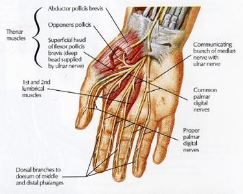 hand nerves diagram shrew skeleton labeled anatomy of the team bone hand7 hand8 hand9 hand10