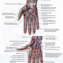 Palmar Hand Muscle Anatomy Diagram Wiring For Air Conditioning Unit Of The Team Bone It Courses Around Base Thumb And Passes Dorsal To 1st Mc Gain Access Thenar Space Where Becomes Deep Arch