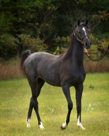 Bellagatti BV Arabian Filly by KM Bugatti