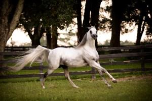 KM Bugatti Arabian Stallion