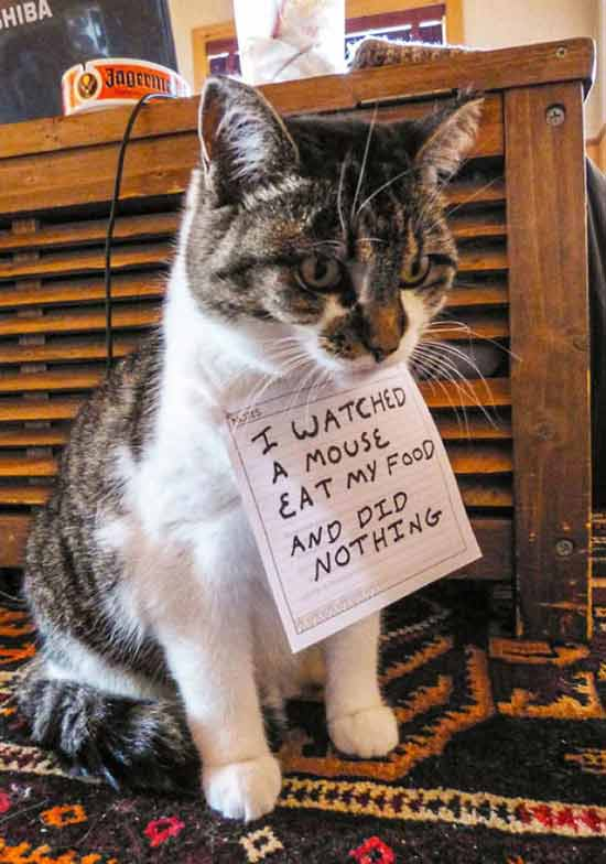 Cat shaming ~ Watched a mouse eat my food ~ 35 Funny Pics & Memes