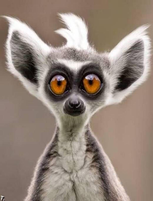 funny big-eyed lemur ~ funny animals
