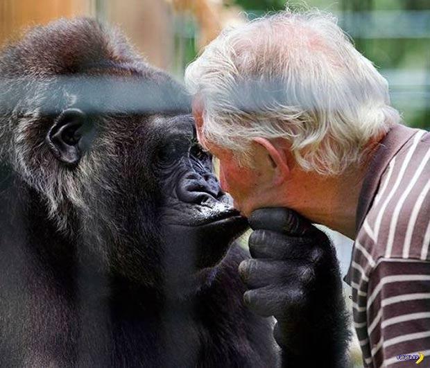 Preciou... gorilla kissing man... ~~ 37 funny pics & memes