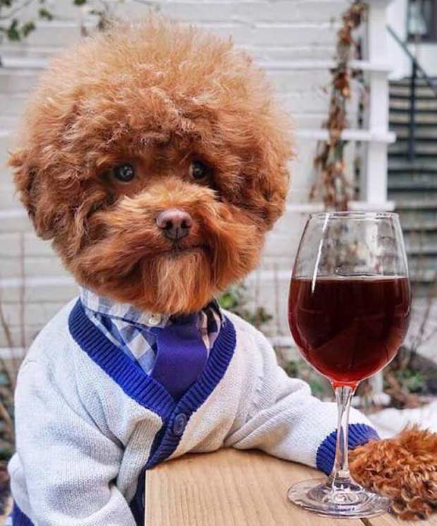 As I was saying.... nerdy preppy dog dresses in sweater & tie, glass of wine ~~ 37 funny pics & memes
