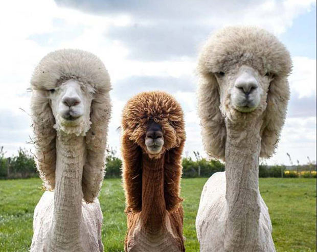 They look like an 80s Boy Band ~ Llamas with cool haircuts, mullets ~ funny pics & memes