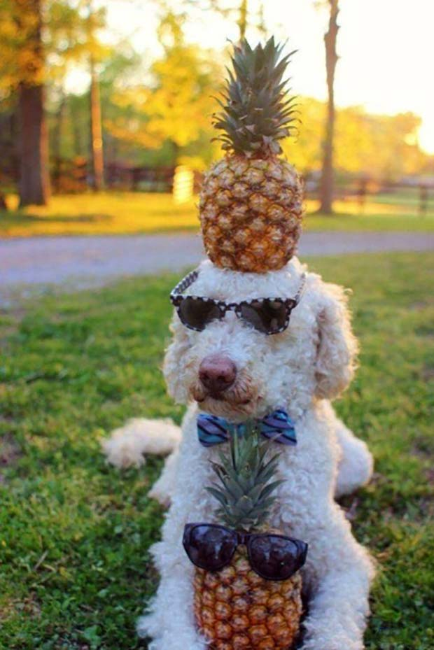 33 Funniest Memes and Pic to Get Your Laugh On ~ cut dog pineapple head