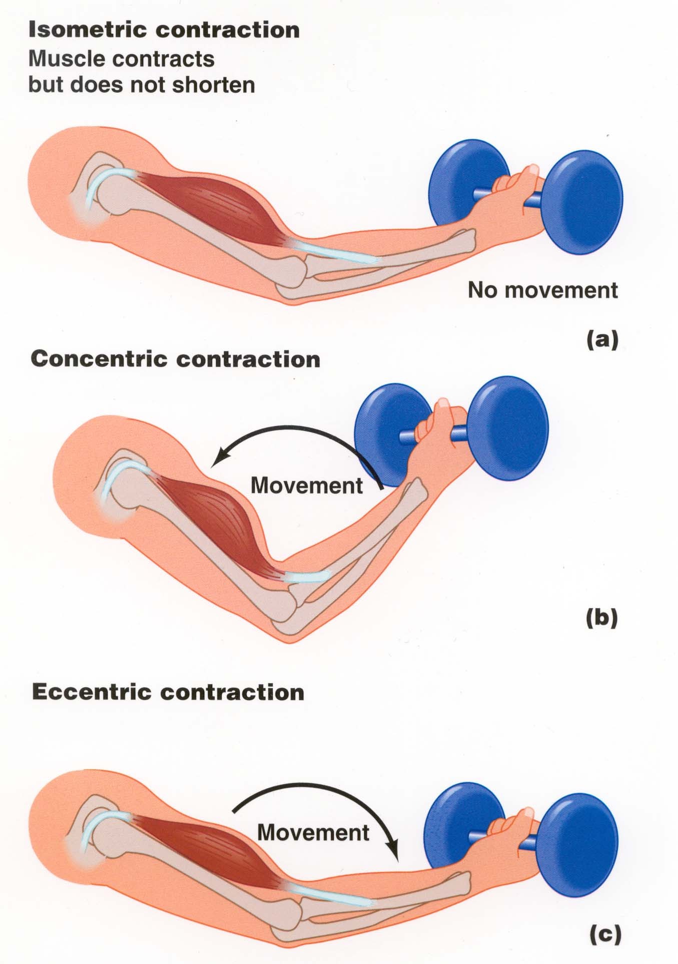 Muscle Actions Concentric And Eccentric