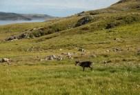 We met many wandering caribous on our hikes around Salluit