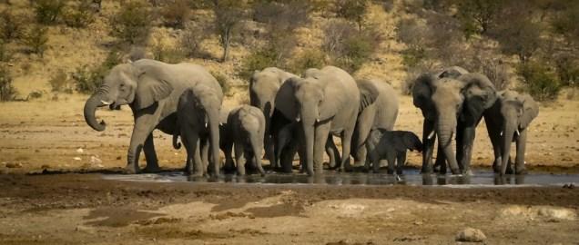 Both Male & Female Elephants have tusks