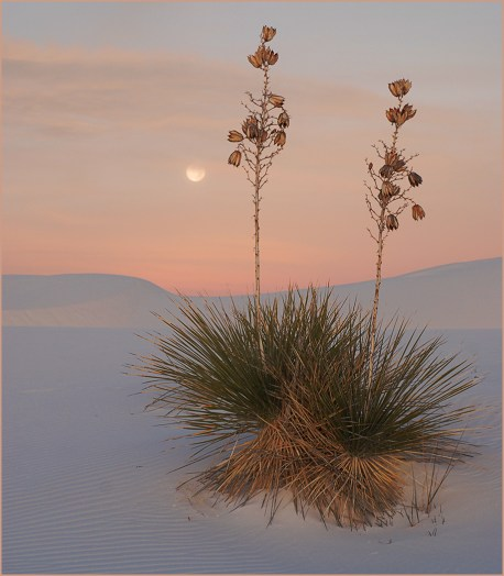 Twin Yuccas at Dusk