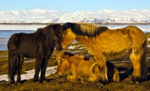 Icelandic horse family