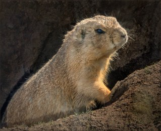 Prarie Dog Emerging from Bolt Hole