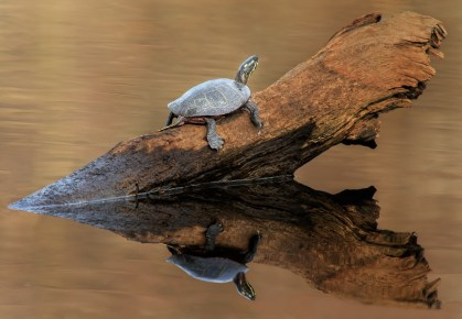 Weathered Wood with Turtle